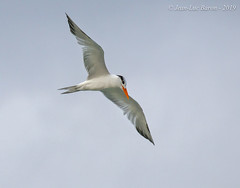 Royal Tern (Thalasseus maximus) (Jeluba) Tags: 2019 cayosantamaria cuba jeanlucbaron jeluba königsseeschwalbe royaltern sterneroyale thalasseusmaximus aves bird birdwatching nature oiseau ornithology wildlife inflight