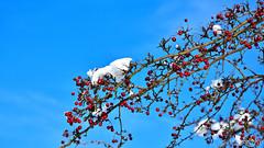 Blue-red-white winter (Szymon Karkowski) Tags: outdoor winter nature sky snow rowan rowanberry branches blue white red ball balls silesian voivodeship gliwice poland nikon d7100