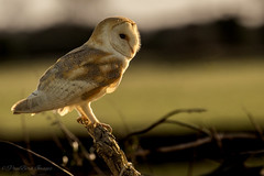 Barn Owl in the evening country side (budgiepaulbird) Tags: barnowls birdsofprey canon7dmark2 100400mark2 wildlifewatchingsuppliesc80 birds owls countryside hunting
