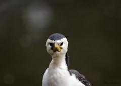 (Laszlo Papinot) Tags: bird animals healsville zoo zoosvictoria healsvillesanctuary