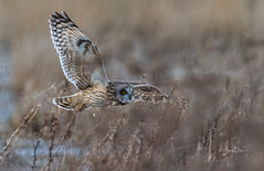 Flying low (frankpaliphotography) Tags: eared prey natural nature wing meadow brown background animal feather bird outdoors raptor wings beak owl closeup ornithology asio shortearedowl owls asioflammeus flight predator yellowanimalshortearedowl yellow portrait flammeus shorteared eye wildlife short white