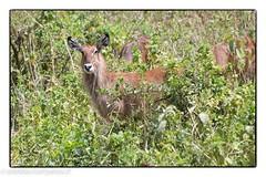 Kenya_0303201928995_DxO-Modifier.JPG (lolofafacha) Tags: cob animaux