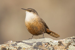 Canyon Wren-2 (Ian Kelshaw) Tags: canyon wren okanagan bc