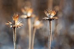 winter weeds (marianna armata) Tags: p2960921 winter weeds bokeh echinacea macro dry seeds mariannaarmata