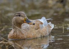 "And this is ""Blondie"" (Estrada77) Tags: mallards ducks foxriver wildlife outdoors kanecounty illinois water birds birding nikon nikond500200500mm nature animals"