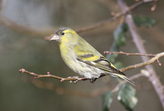 Siskin (m) (Prank F) Tags: titchmarshlnr wildlifetrust northantsuk wildlife nature bird siskin