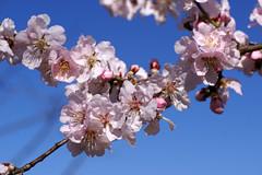 Mandelpfirsich / flowering almond (Prunus amygdalo-persica Pollardii) (HEN-Magonza) Tags: mainz botanischergarten botanicalgardens rheinlandpfalz rhinelandpalatinate deutschland germany frühling spring flora mandelpfirsich floweringalmond prunusamygdalopersicapollardii