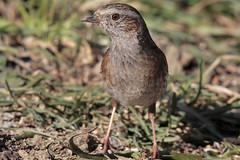 Faccia a faccia con la scopaiola (Marcello Giardinazzo) Tags: passerascopaiola prunellamodularis uccelli avifauna natura birds wild