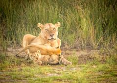 Family Play (natelukefahr) Tags: lion lioncubs lioness lions ndutu ndutuarea tanzania tanzaniawildlife wildlife