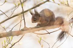 Red Squirrel - garden visitor - (Wouter's Wildlife Photography) Tags: redsquirrel sciurusvulgaris squirrel animal mammal rodent nature naturephotography wildlife wildlifephotography gardenvisitor billund spring springtime