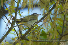 Red-eyed vireo (stephaniepluscht) Tags: alabama 2019 fort morgan state historic site redeyed red eye eyed vireo
