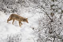 Springtime in the Rockies II (craig goettsch) Tags: coyote snow mammal wildlife animal nature nikon d500