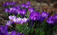 IMGP7162 (PahaKoz) Tags: весна природа сад цветение цветы цветок крокусы spring nature garden flowers flora флора blossom bloom blossoming crocus
