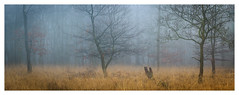 Ashdown Forest - December 30th (Edd Allen) Tags: woods woodland forest trees treescape nikon nikkor70200mm atmosphere atmospheric serene bucolic fog mist light sunrise foliage ethereal eastbourne uk england southeast eastsussex country countryside ashdownforest winter autumn pano panorama