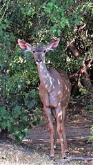 Botswana Kudu (h0n3yb33z) Tags: botswana animals wildlife chobenationalpark kudu antelope africa