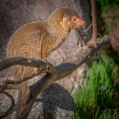 Mongoose on a Branch (helenehoffman) Tags: helogaleparvula sandiegozoo dwarfmongoose commondwarfmongoose conservationstatusleastconcern carnivore mammal animal