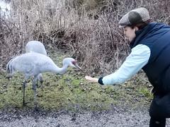 Hand-feeding Cranes (glenbodie) Tags: bodie catherinehurley glen glenbodie north40 reifel