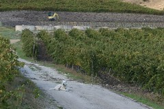 Guarding the Grapes (marielochphotography) Tags: winery dog grapes vineyard travel sicily
