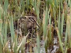 Yesterday's Jack Snipe at Slimbridge was NOT up for having its picture taken... (Ted Smith 574) Tags: jack snipe