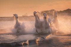 Band of Horses (Iurie Belegurschi www.iceland-photo-tours.com) Tags: horse horsesrunning horses whitehorses camargue france southernfrance splash splashing water sunset sea seascape animalphotography animals adventure beautiful beach coastal dreamscape earth fineart fineartlandscape fineartphotography fineartphotos equestrian equine equines guidedphotographyworkshops guidedphotographytour icelandphototours iuriebelegurschi landscape landscapephoto landscapephotography landscapes landscapephotos nature outdoor outdoors ocean phototours phototour summer tours travel travelphotography view workshop workshops french