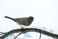 Junco (Lynn Tweedie) Tags: wood snow eye 7dmarkii feathers winter eos sigma150600mmf563dgoshsm tail missouri bird canon beak ngc animal