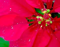 Euphorbia pulcherrima Willd. ex Klotzsch Euphorbiaceae Poinsettia-Poinsettia, คริสต์มาส (SierraSunrise) Tags: plants flowers bracts red yellow foliage poinsettia euphorbia euphorbiaceae ornamentals thailand phonphisai nongkhai isaan esarn