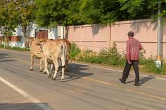 Sam Roi Yot (sillie_R) Tags: cow man nationalpark road samroiyot thailand prachuapkhirikhan th