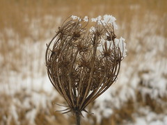 Daucus carota - seedhead (Jörg Paul Kaspari) Tags: centre écologique hosingen wildemöhre winter schnee daucus carrota seedhead ösling kelch blütenkelch winterblossoms carota queenanne'slace wildflower