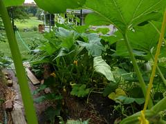P1090102 (LPompey) Tags: garden strawbale strawbalegarden gardening summersquash