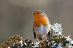 Robin at Stover Park, Devon, UK. (ronalddavey80) Tags: