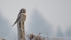Northern hawk-owl (JS_71) Tags: nature wildlife nikon photography outdoor 500mm bird new winter see natur pose moment outside animal flickr colour poland sunshine beak feather nikkor wildbirds planet global national wing eye d500 wood snow sky