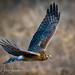 Northern Harrier Cruise