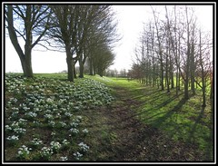Brightwater Garden Snowdrops, Saxby. Lincolnshire (M E For Bees (Was Margaret Edge The Bee Girl)) Tags: brightwatergardens snowdrops galanthus garden saxby lincolnshire trees bare winter white flowers walk shadows countyside canon cold green grass light sun