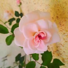 Nature is amazing (renukadeshmukh) Tags: naturephotography nature naturecollection flowerphotography flower rose