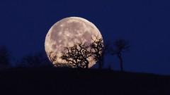 Supermoon setting behind oak trees (tlillig) Tags: california novato supermoon bluehour moon trees oak a6000 alpha sigma150600mm affinity photopills