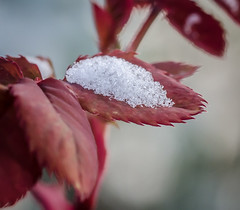 Snow Cup. (Omygodtom) Tags: scene red macro bokeh leaf outside usgs tamron texture winter d7100 digital dof existinglight
