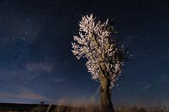 Almendro con fodo estrellado. (Roberto_48) Tags: almendro noche nocturna flor estrellas nikon paisaje nocturno arbol cielo