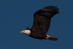 DSC_2394.jpg (TFB777) Tags: bald eagle steigerwald nwr bird flying