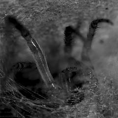 Take a look (LonánWL) Tags: blackandwhite blackwhite blackwhitephotos canoneos200d canonef50mmf18stm spider web nature animal insect outdoor outside wildlife araignée toile insecte exterieur dehors noiretblanc noirblanc macro