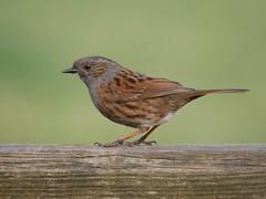 Dunnock (PhotoLoonie) Tags: dunnock bird wildbird avian wildlife nature
