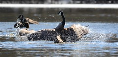 Angel wings Canada Goose (primpenny1) Tags: canadagoose wings bird waterfowl nature wildlife