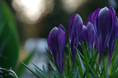 Here comes the...spring (Krystian38) Tags: szafran flower flowers nature spring green violet