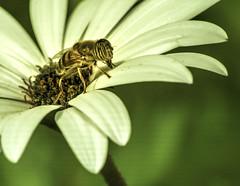 Recolección (frankalf37) Tags: autumn cadiz españa faunaandflora natural spain wasp conil countryside fauna flower macro nature