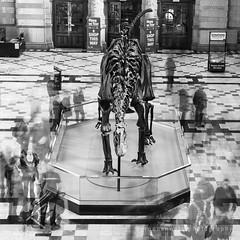 Time traveller (Keith Gooderham) Tags: kg190311829bwmergesqweb1 dinosaur skeleton cast dippy ontour diplodocus copyrightgreenshootsphotography glasgow kelvingrove museum london
