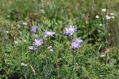 Scabiosa caucasica Lago-Naki July 2018 (Aidehua2013) Tags: scabiosa caucasica dipsacaceae dipsacales caucasianscabious plant flower lagonaki maikopdistrict adygea russia caucasus