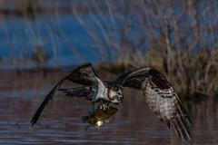Twofer Tuesday (rob.wallace) Tags: huntley meadows park spring 2019 osprey in flight fishing raptor alexandria va