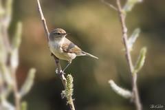 Tjiftjaf - Warbler (Thijs de Bruin) Tags: tjiftjaf warbler nature lente spring birds vogels natuur green groen explored inexplore