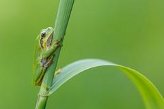 Laubfrosch _O4A0922 HGlader (hans.glader) Tags: amphibien frosch laubfrosch