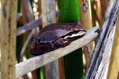 Chorus frog in brown (TJ Gehling) Tags: amphibian frog chorusfrog treefrog pacificchorusfrog pacifictreefrog pseudacis pseudacrisregilla pond canyontrailpark elcerrito