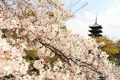 Sakura and pagoda (Teruhide Tomori) Tags: sakura cherry spring tree pagoda 五重塔 kyoto japan japon toji architecture building construction roof tradition 京都 東寺 寺院 春 桜 日本 庭園 garden